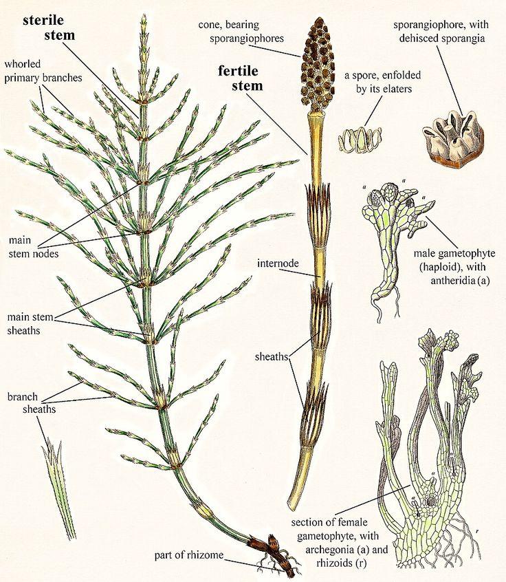 equisetum - i hate you!!!! | ambleside gardening ... rosemary herb diagram #7
