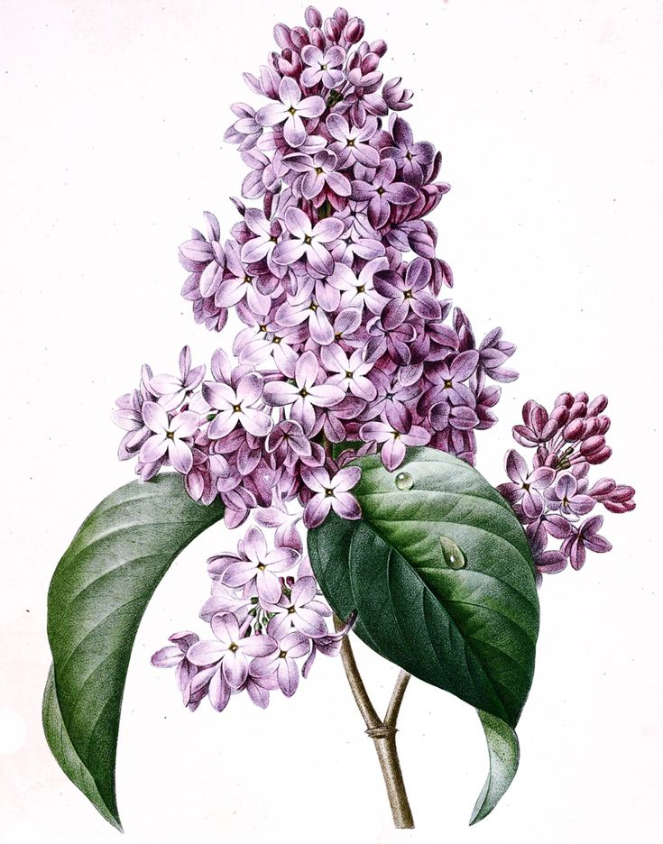 Цветочная литография...ботанические иллюстрации | Pierre-Joseph Redoute. Обсуждение на LiveInternet - Российский Сервис Онлайн-Дневников