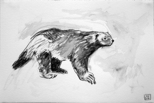 Wolverine #canada #drawing #art #wildlifeart #realism #graphite #wolverine