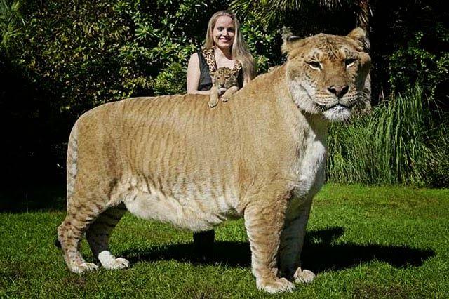 Liger Hercules The Biggest Cat In The World Reckon Talk Unusual Animals Rare Animals Liger