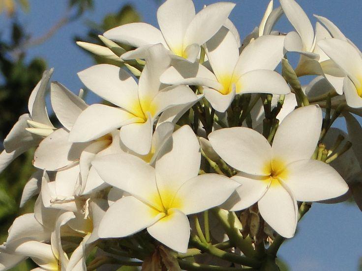 Flor do Cerrado mineiro.