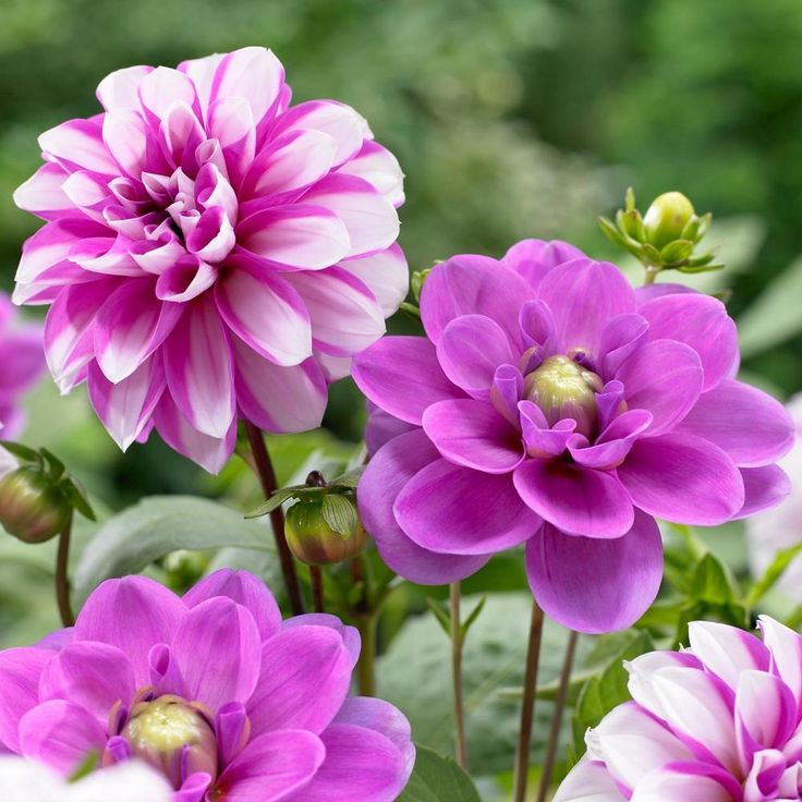 Dahlia priceless pinkserkan longfield gardens in 2020