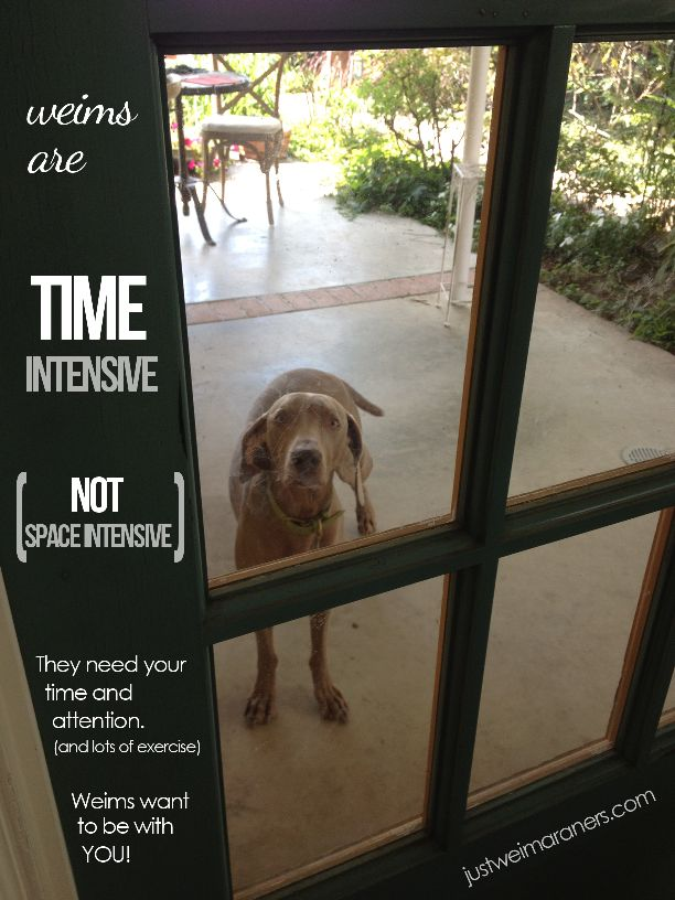 Weims are time intensive dogs