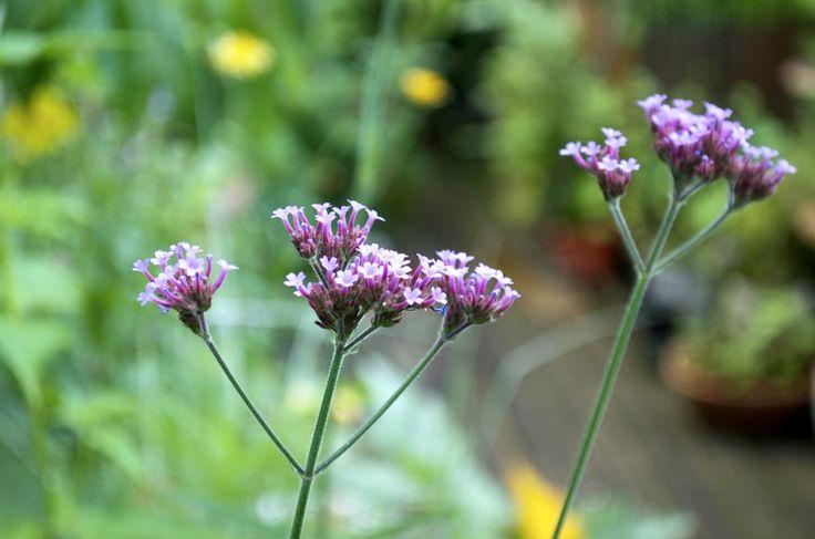 Das Eisenkraut hebt sich durch seine filigrane Struktur schön von anderen Pflanzen ab und ist sehr pflegeleicht.