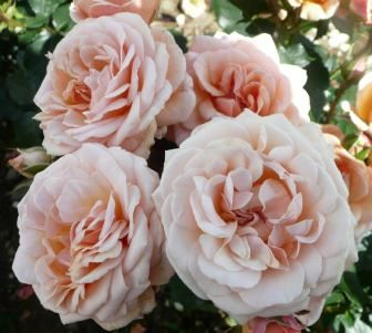 JOY VIELI (Dickaramel) 2011             £7.50  Masses of large, moderately fragrant peachy buff double blooms with fifty petals! Deadhead it to keep plant looking its best. Certificate of Merit from the Royal National Rose Society in 2010.