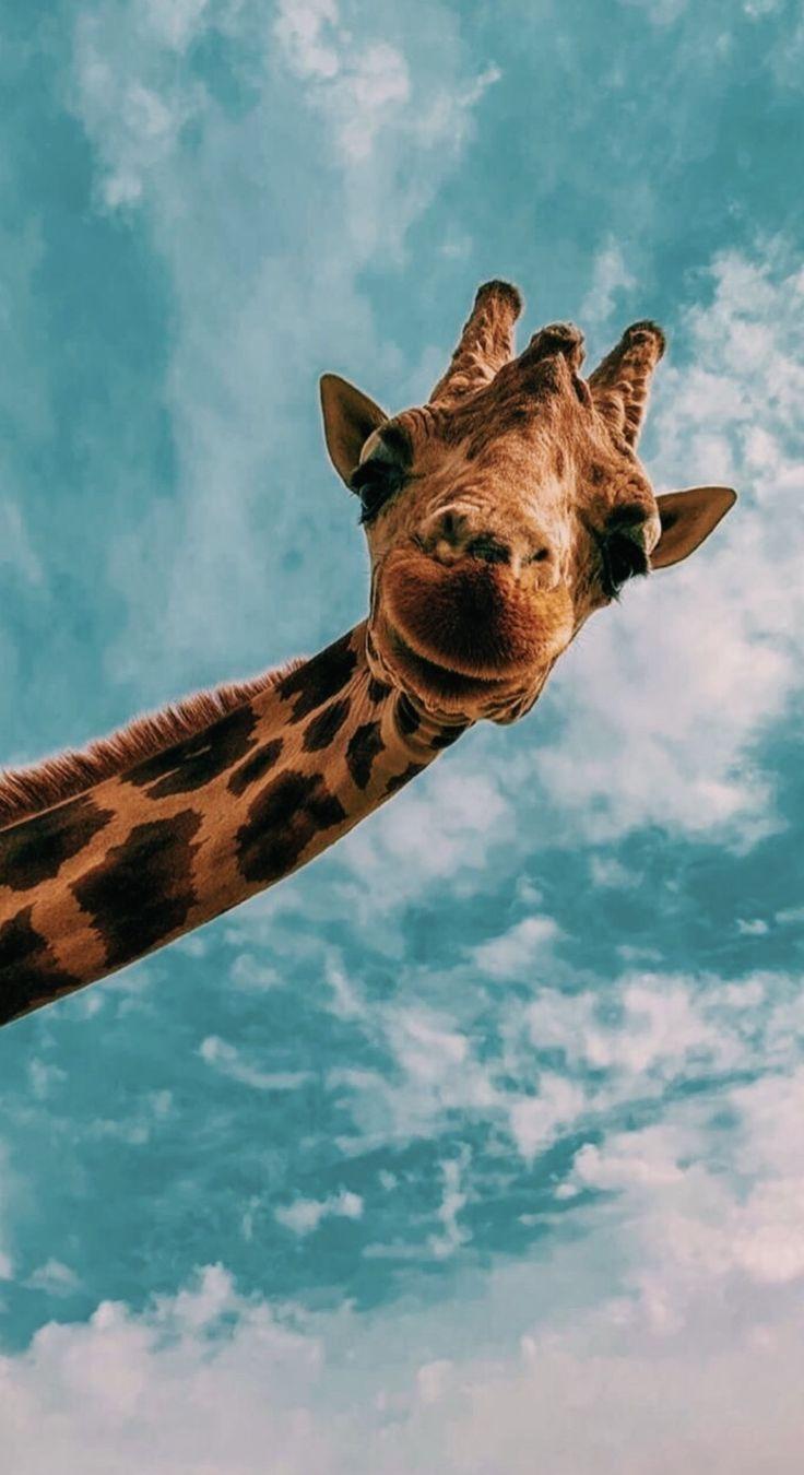 Health Aesthetic Background Health Aesthetic Health Aesthetic Background Health Aesthetic Health Health Aesthetic Giraffe Animals Animal Wallpaper