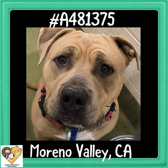 TOBEY #A481375 Moreno Valley CA male fawn Pit Bull Terrier. The shelter thinks I am about 1 year. I have been at the shelter since Jan 11 2018 and I may be available for adoption on Jan 18 2018 at 1:53PM  http://ift.tt/2FVwrd3  Moreno Valley Animal Shelter 14041 Elsworth Street Moreno Valley CA 951-413-3790 GENERAL INFO: Animalshelter@moval.org RESCUES EMAIL: rescue@moval.org Open Tuesday -Saturday (closed Sunday Monday & holidays) #morenovalley #inlandempirepets #socaldogs