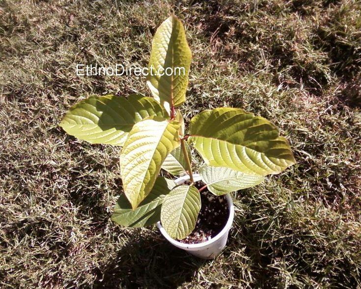 Mitragyna Speciosa Kratom Plants