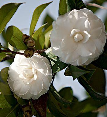 Camélia –Apreciadas pelo brilho da folhagem e pela delicadeza das flores, algumas camélias exibem um aroma sutil. É o caso da variedade Cammeliasinensis, uma árvore de até 15 m de altura com flores brancas e perfumadas,   e da Cammeliasasanqua, ou camélia aromática, que tem flores de cores que variam do rosa claro ao púrpura. Desenvolvem-se melhor em temperaturas amenas e toleram certo sombreamento.
