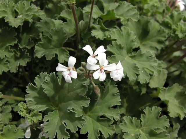 P. x fragrans (odoroso)