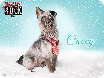 New York, NY - Terrier (Unknown Type, Medium) Mix. Meet Casey, a dog for adoption. http://www.adoptapet.com/pet/15267569-new-york-new-york-terrier-unknown-type-medium-mix