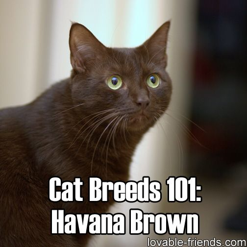 If there ever was a cat for chocolate lovers, it would be the Havana Brown. Practically every strand of hair on this cat, even its whiskers, is a rich chocolatey shade. Click the link to learn more.