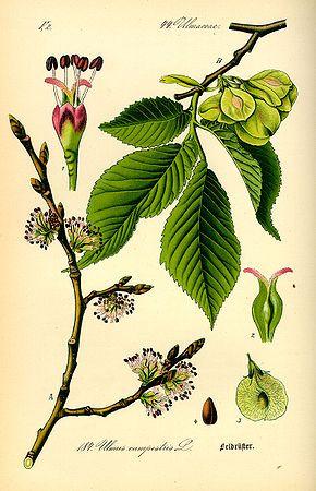 Orme champêtre - Classification de Cronquist