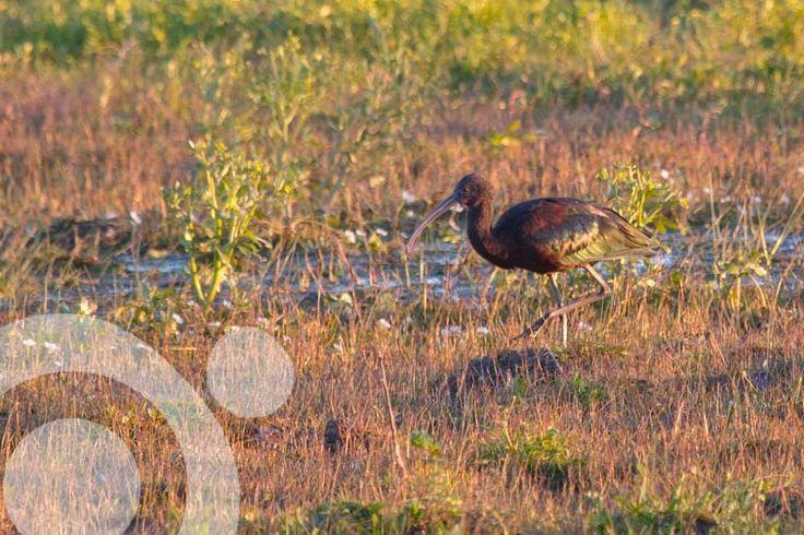 #Birding_in_Spain: Glossy ibis in #El Rocio. More information to plan your trip to #Doñana in www.qnatur.com