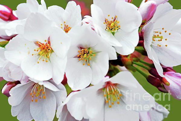 Branch Brook Park New Jersey Cherry Blossoms Portrait Of White Yoshino Blossoms Prints Available In Cherry Blossom Images Ornamental Cherry Cherry Blossom