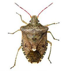 Organic way to get rid of stink bugs,  Especially good for the garden.