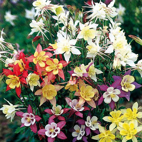 Les 61 meilleures images du tableau fleurs vivaces de jardin sur pinterest jardin de fleurs - Fleurs de jardin vivaces ...