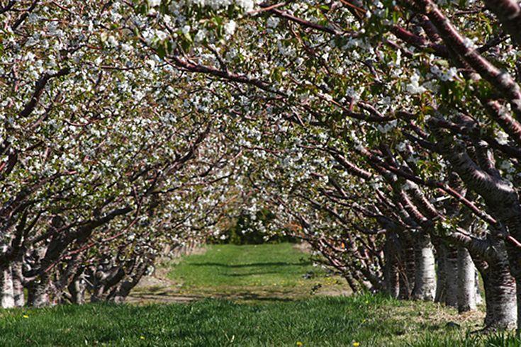cherry picking season california   Okanagan Cherry Season. An Interview with Jeremy Heibert