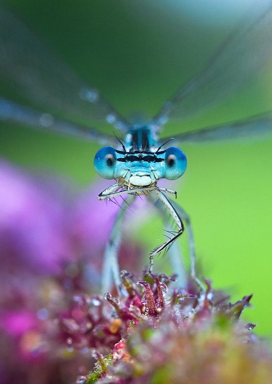 Damselflies are the most gorgeous blue~