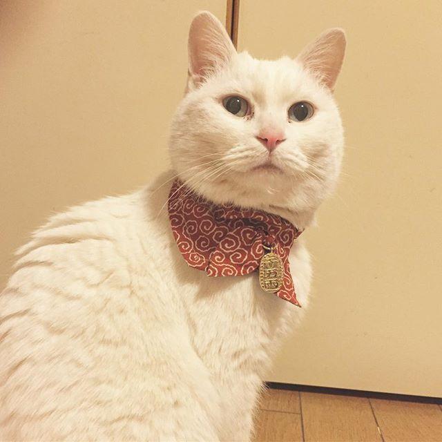 #白猫#猫#猫部#ねこ部#ネコ部#にゃんこ部にゃんこ#愛猫#まっしろねこ#でぶ猫#ぶさかわ#ふてにゃん#ふてねこ#猫好きな人と繋がりたい#ねこすきさんと繋がりたい#ねこすたぐらむ#おばあちゃん猫#きーちゃん#きーちゃんの毎日