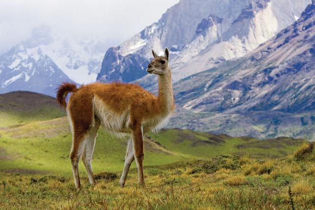 Adventure Travel With National Geographic Adventures: Surrounded by Patagonia's high peaks, a wild guanaco surveys the scene from an alpine meadow.