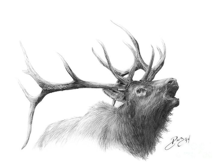 Elk Canvas Print / Canvas Art by Larry-DEZ- Dismang
