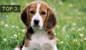 kid friendly dog breeds include ****Beagles!, ***Yorkshire Terriers, ****Havanese!, ***miniature poodle, ***bichon frise
