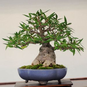 20 best Bonsai At The Office images on Pinterest Bonsai trees