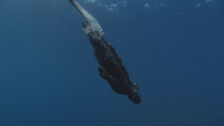 Marine iguanas in the Galapagos are equally at home on shore and in the water.