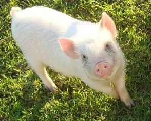 Full grown teacup pig, about the size of a jack russell ...