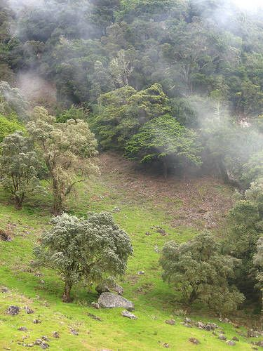 Smoke from Volcan Baru filters through the trees. Located in the Chiriqui province, Volcan Baru is the highest mountain in Panama. From the ...