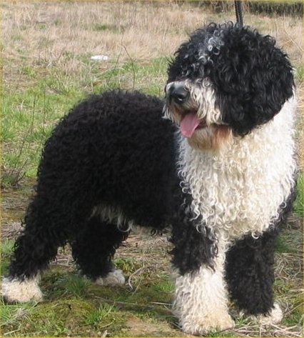 The Spanish Water Dog is a breed of dog developed by the shepherds in Spain as a multi-purpose herder who was also used sometimes as a gundog, as well as an assistant to fishermen