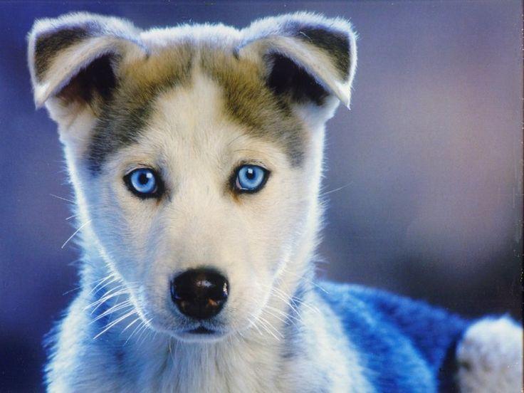 Sibirya Husky yavrusu, mavi gözlü HUSKEY köpek yavrusu vektör