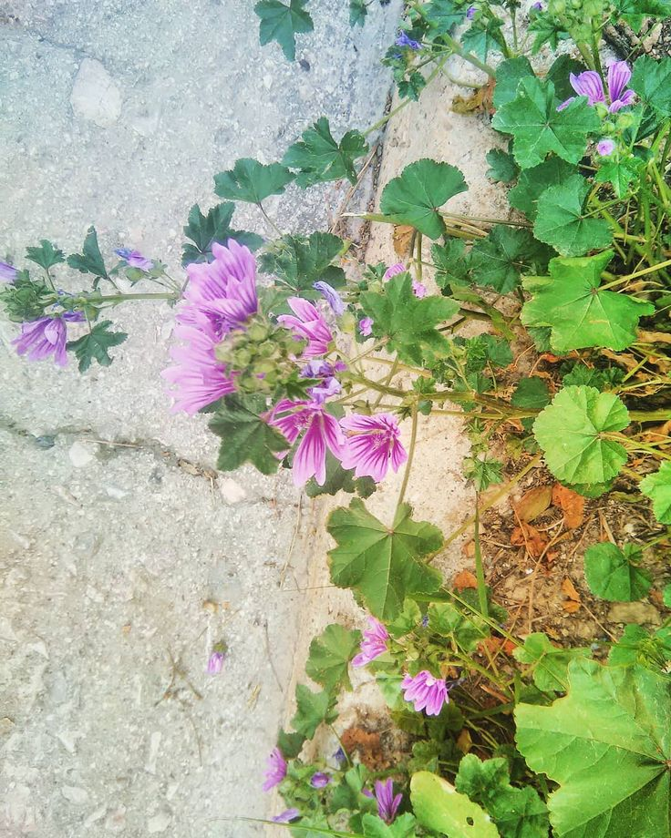 Malva sylvestris, known as moloha in Greece. A popular demulcent herb, whose leaves can be used in poultices, as an emolliant.   Shot a few blocks far from my school.    #rewild #foraging #malva #mallow #mallows #herbalmedicine #primitiveskills #healingherbs #wildherbs  #wildgreens #herbalist #poultices #apothecary #naturalhealth #naturephotography📷 #greece #naturelover #flowerpower