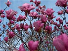 Jane Magnolia -Beautiful tree that can grow to be 15ft but as little as 3 ft. This will be perfect for my yard.