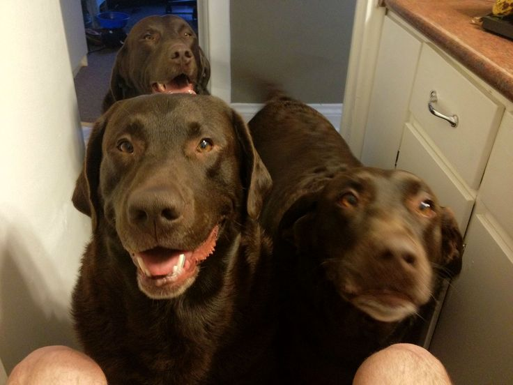 i love chocolate labs!