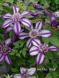 Clematis Cassis...double bloom that is 4 inches wide.  Early summer to mid summer blooms and 6 feet tall.
