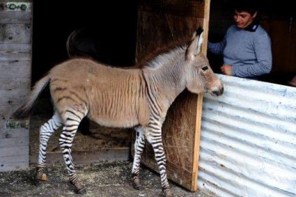 http://www.vocero.com/inusual-animal-atrae-a-curiosos/