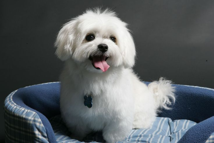 My Dog Happy is the Cutest #maltese Dog Ever ♥. You named him well.