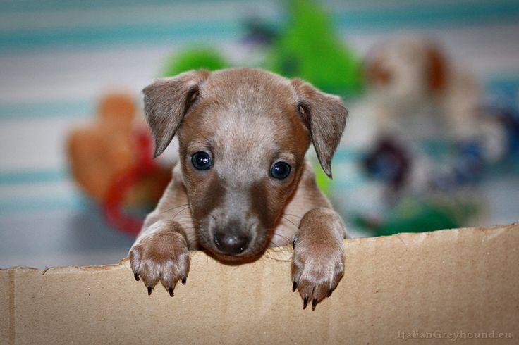STUPOR MUNDI - Italian Greyhound, Piccolo Levriero Italiano, Italienische Windspiele