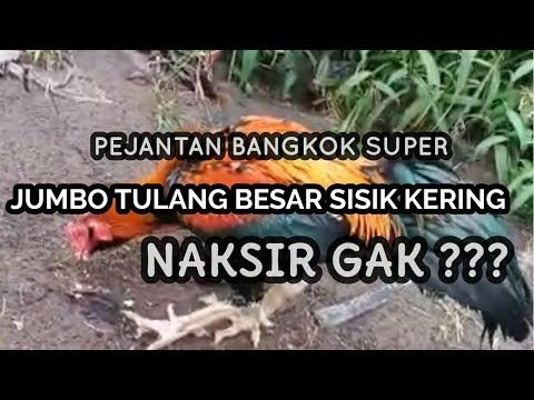 Jual Ayam Aduan Bangkok Super Besar Wiring Kuning Tembus Sisik Kering Youtube Youtube Bangkok Hewan
