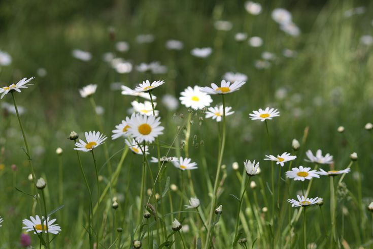 Daisy #daisy #flower #white #green #yellow #filed #meadow #sweden #vilmamoquist