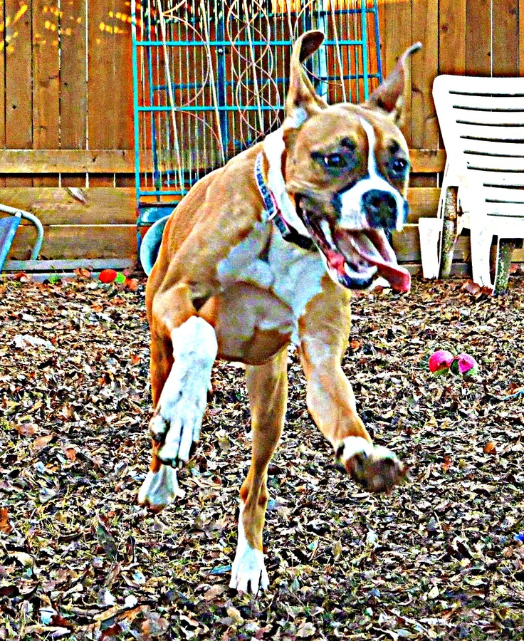 Arrietty in honor of Leap Day! (Legacy Boxer Rescue)