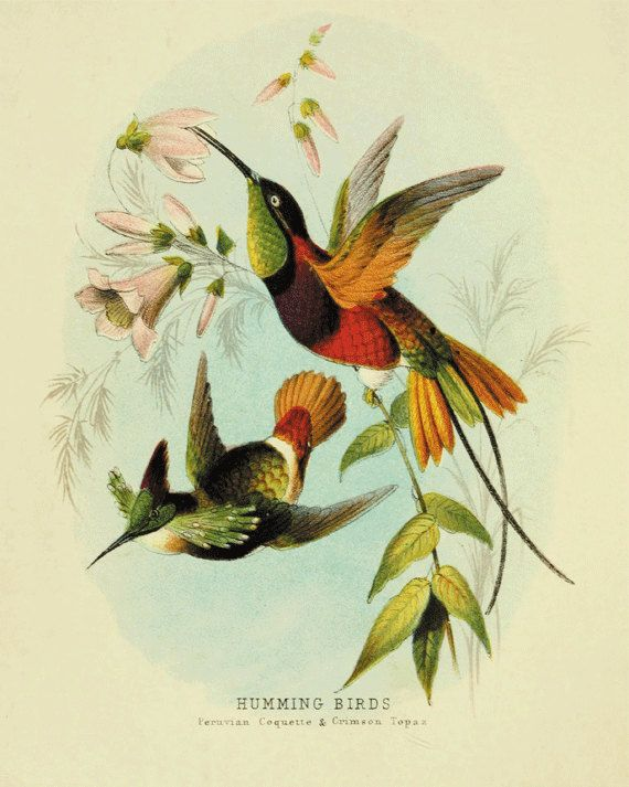 Hummingbirds Bird art print Antique prints by VictorianWallArt