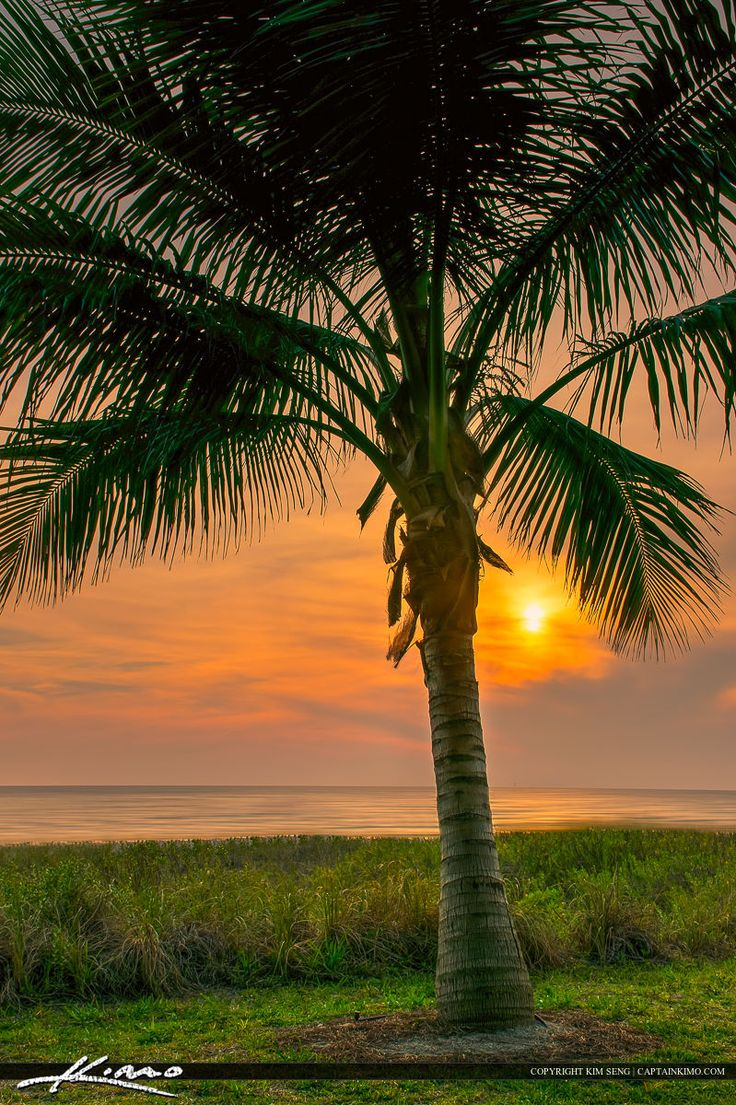 florida palm trees | Naples Florida Coconut Palm Tree at Sunset | HDR Photography by ...