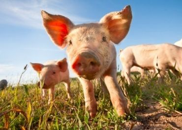 PLEASE?  Pigs are suffering and dying in medical school training labs at the University of Tennessee College of Medicine in Chattanooga (UTCOMC). Pigs need your help!  NOW!