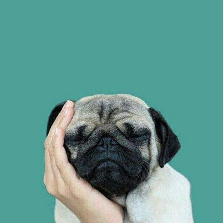 Cutest pic on internet 😍 #trendingtrollss #trendingtrolls #pet #petlovers #cute #sweet #beautiful #amazing #creativity #photography #love #pug #pets #dog #photooftheday