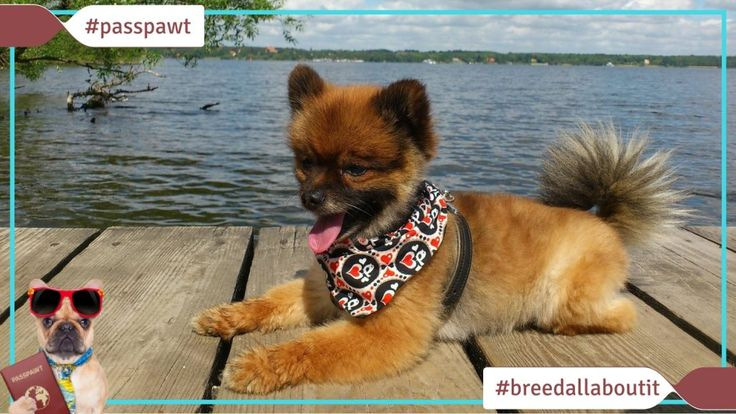 Breed All About It  Dog Breeds starting With P  Pomeranian  05/22/2017  Pomeranian  Narrator: Did you know that Michelangelo painted the Sistine Chapel with a Pomeranian at his side. Often call a palm its one of only three canines to survive the sinking of the Titanic.  Zak George: The stereotypical Pomeranian is going to be small and yappy and excited and energetic and a great pet to their parents.  Andrea Arden: I think Pomeranians are definitely one of the cutest dogs out there. Theyre…