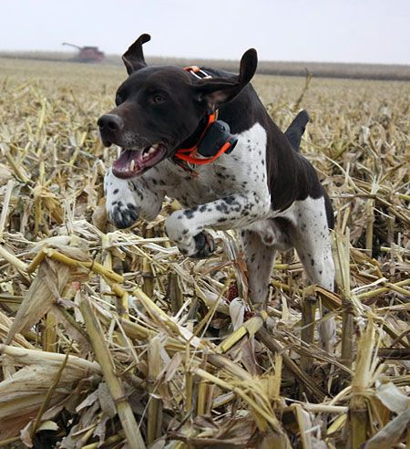 German Shorthaired Pointer: The shorthair quickly became popular with hunters who needed one dog to do it all: point, track, retrieve furred and feathered game on land and water … and serve as family companion.