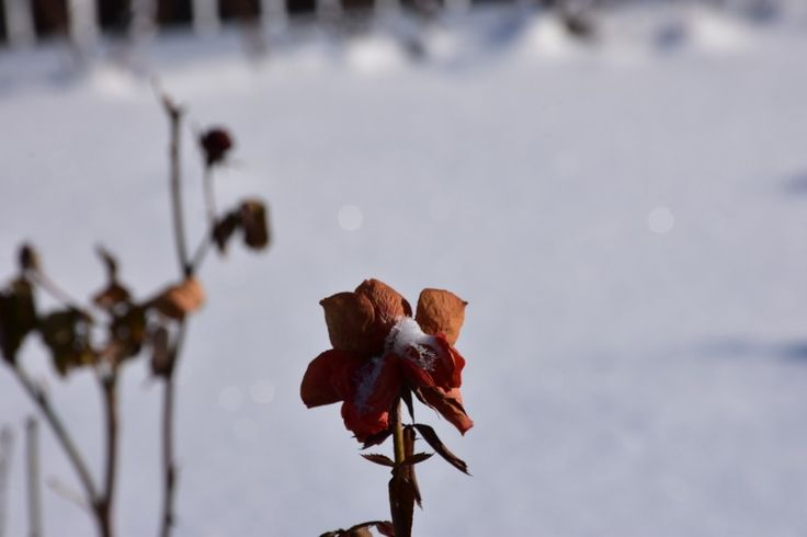 Rose frozen